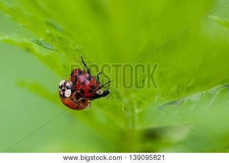 Macro shot of 2 lady bugs mating with selective focus and deliberate shallow depth of field on background for effect.