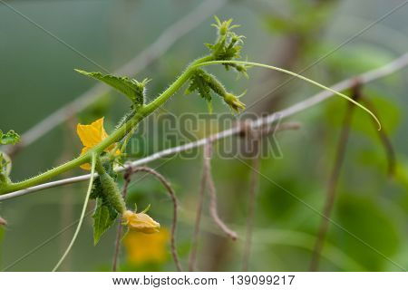 cucumber vine with flowers and tendrils in the greenhouse