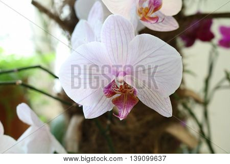 Phalaenopsis - epiphytic herbaceous plants Orchids with wonderful flower