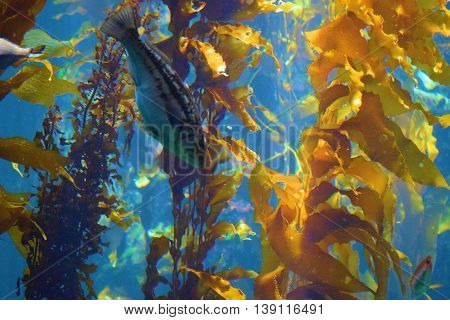 Fish beside a Kelp Plant Forest taken in the cold waters of the Pacific Ocean at the California Coast