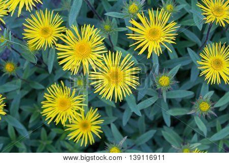 Downy Elecampane ( Inula Hirta ) With Yellow Flowers In A Garden In Goettingen , Germanydowny Elecam