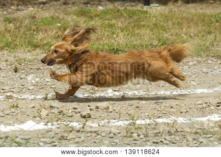 Dachsund stretching out in the race in Rathdrum, Idaho.