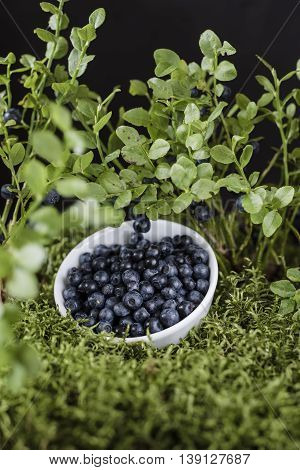 Blueberries in white bowl stay on the green moss surrounded by berry bushes