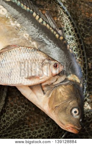 Mirror carp, crucian, fresh fish on a fishing cage. Fishing concept. Concept of a rural getaway. Article about fishing.
