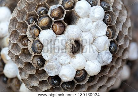 Wasp Nest with larvae and eggs in individual cell of the hive closeup macro