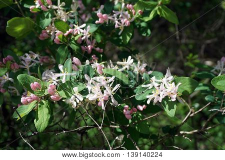 A Tartarian honeysuckle bush (Lonicera tatarica) blooms during May in the Lake Renwick Heron Rookery Nature Preserve in Plainfield, Illinois.