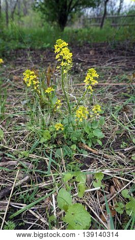 Bittercress (Barbarea vulgaris), also called herb barbara, rocketcress, yellow rocketcress, winter rocket, and wound rocket, blooms during May in the Lake Renwick Heron Rookery Nature Preserve in Plainfield, Illinois.