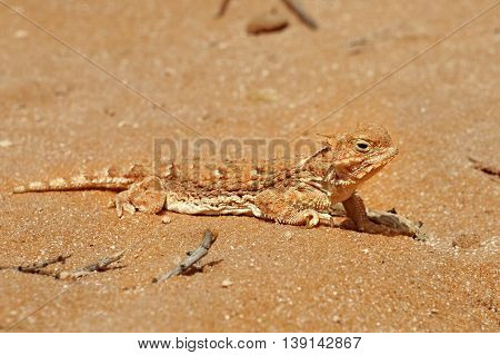 Lizard in the sand desert. Arizona, USA