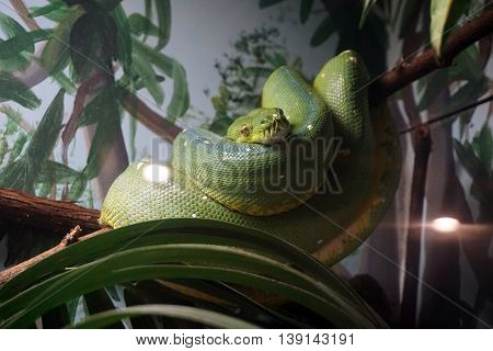A green tree python (Morelia viridis) rests, coiled up, in a branch.