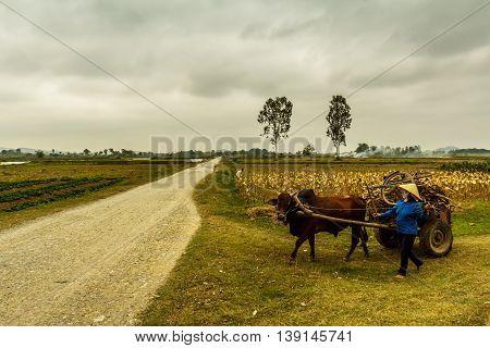 A woman leads a cart through a field in rural Vietnam