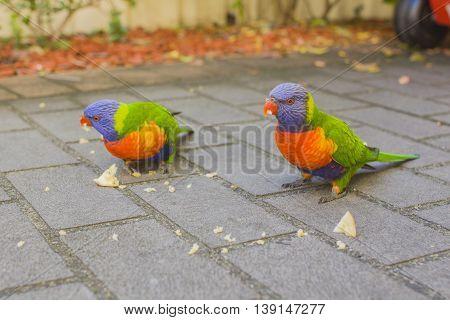 Rainbow colorful lorikeet parrot  in Australia photo