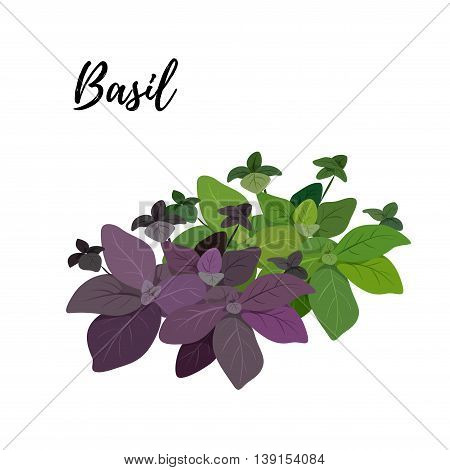 Isolated branches of two kinds of herbs fresh basil green and burgundy aroma herbs vector object on white background. Kitchen seasoning and spices.Vektor illustration.