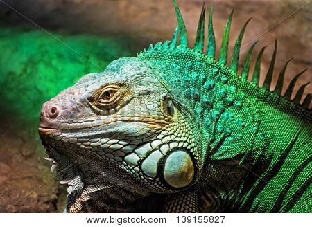 Green iguana - Iguana iguana. Detailed animal portrait. Beauty in nature. Herbivorous species of lizard.