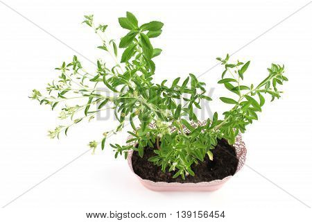 Stevia rebaudiana bloom in flowerpot on white background. Natural sugar grow at home.