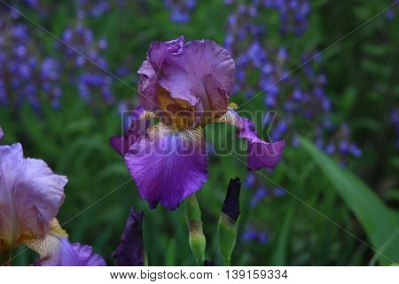 Iris garden. Delicate aroma is intoxicating and inspiring felt everywhere.