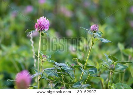 the blossoming clover grass closeup and a blank space on an indistinct background