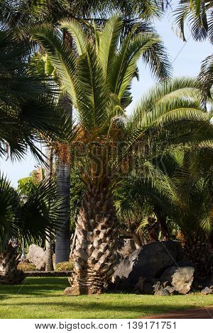 Large palm of Phoenix canariensis. Date Canaries, symbol. Tenerife Spain