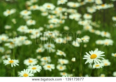 Flowering. Chamomile. Blooming  Field.  Flowers On A Meadow In Summer,blurred Background