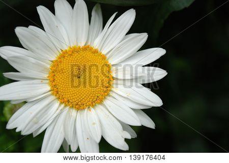 Image of white daisy flowers on dark background