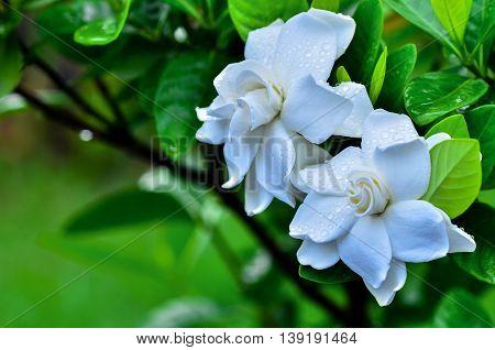 Cape Jasmine blooming in garden focus top flower
