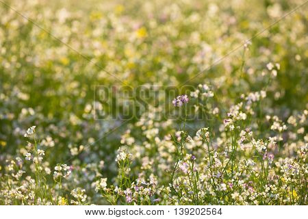Green Field With Flowering Wild Radish Or Jointed Charlock Or Cultivated Radish. Early Summer. Agricultural Background. Raphanus Sativus
