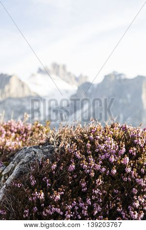 Plants that thrive in high altitudes. Heather thrives in snow high mountains in the background.