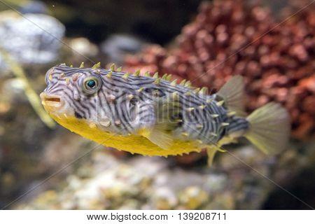 Striped Burrfish Underwater Close Up Macro Detail