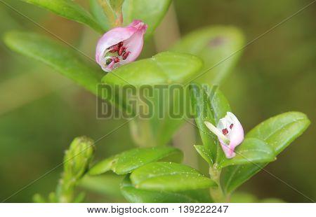Bog-rosemary (andromeda Polifolia) Plant With Opened Blossom