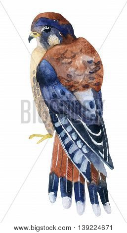 Watercolor kestrel isolated on white background. Hand painted animal illustration
