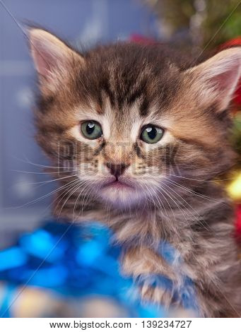 Cute siberian kitten near Christmas spruce with gifts and toys