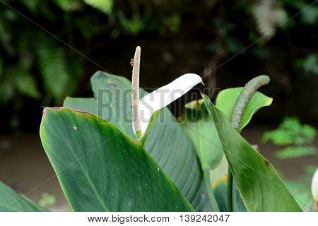 Spathiphyllum at Perdana Lake Gardens (Taman Tasik Perdana) in Kuala Lumpur Malaysia
