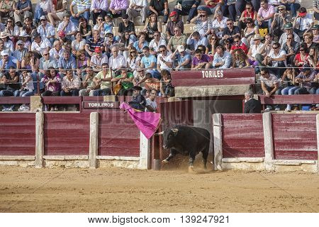 Ubeda Spain - October 2 2010: Capture of the figure of a brave bull in a bullfight going out of bullpens Ubeda Spain