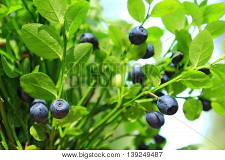bilberry-bush with ripe berries in the forest