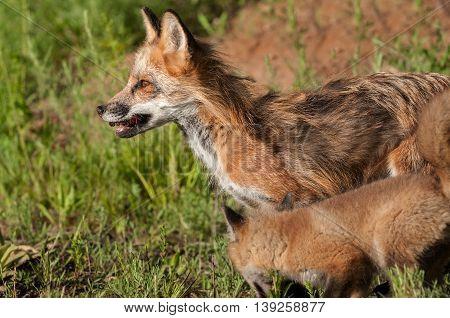 Red Fox Vixen (Vulpes vulpes) and Kit - captive animals