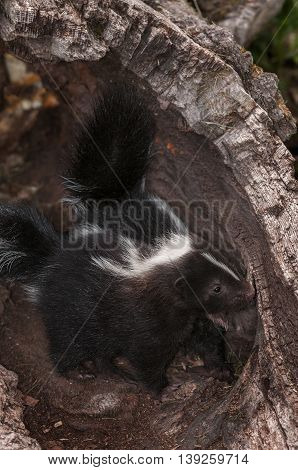 Baby Striped Skunks (Mephitis mephitis) Nose About in Log - captive animals