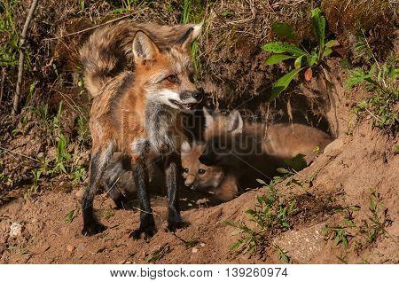 Red Fox Vixen (Vulpes vulpes) In Front of Den Full of Kits - captive animal