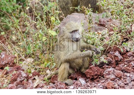 Jung male olive baboon (papio anubis) sitting on the branch in Lake Manyara national park Tanzania