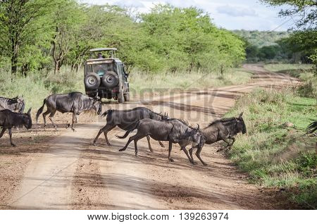 Wildebeests traversing the road in Serengeti Tanzania