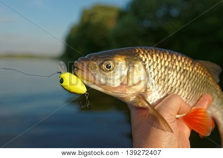 Chub in fisherman's hand, summer catch