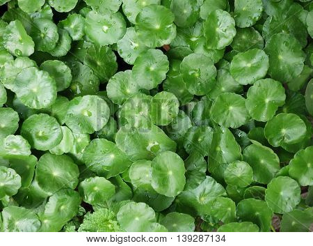 Largeleaf Pennywort (Hydrocotyle bonariensis)