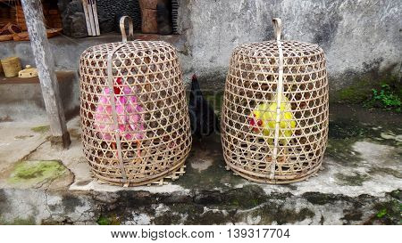 Colored cocks. Bred for fighting are kept in the baskets such as they alone in the whole village. Bali Indonesia.
