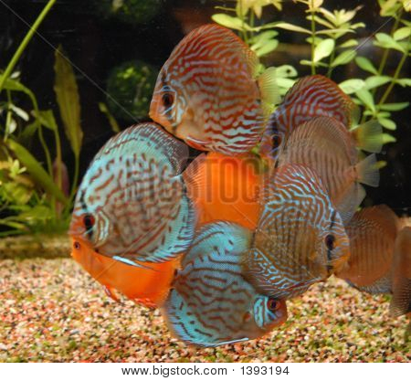 Colorful Discus