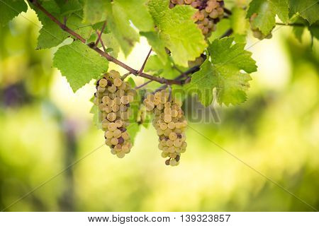 White wine grapes in a vineyard right before the harvest (color toned image)