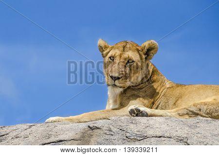 Female lion resting on the rock in Serengeti Tansania