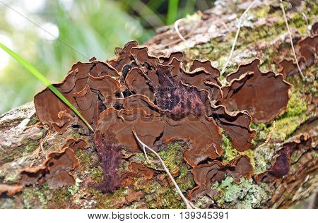 Velvety brown bracket (Trametes) fungus growing on a fallen log in rainforest, Sydney, Australia
