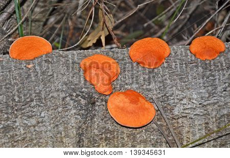 Orange bracket fungus (Pycnoporous coccineus) growing on a fallen tree in Australian Eucalypt forest