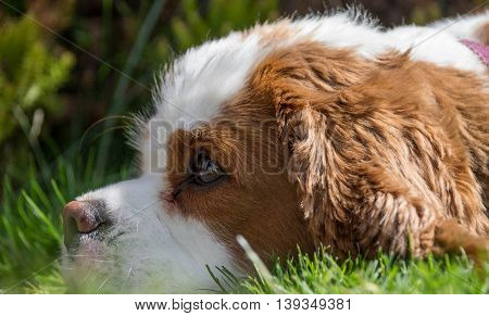 Portrait of a Blenheim Cavalier King Charles Spaniel, lying on the grass, home garden, Liverpool, England