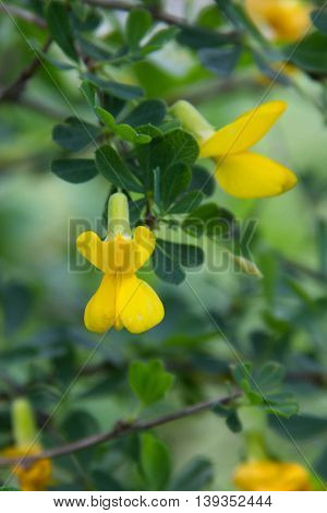 Siberian yellow acacia Caragana treelike. Caragana arborescens.