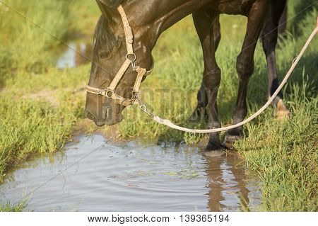 The horse is looking in a puddle