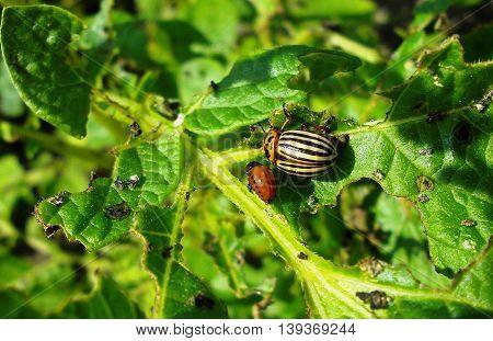 Closeup of Colorado potato beetles on the potato leaf